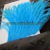 ostirchFeather Gallery